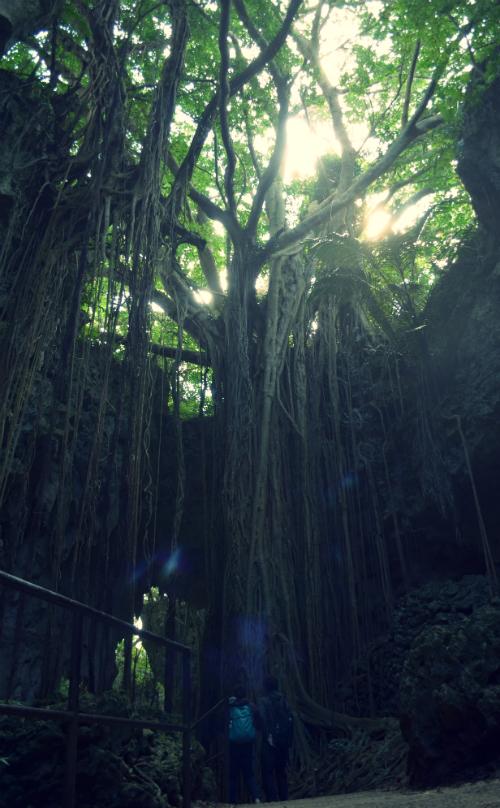 沖縄 ガンガラーの谷 ガジュマル