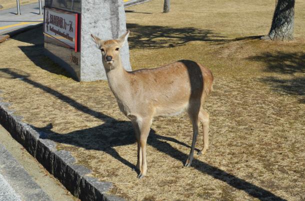 鹿 奈良公園 鹿せんべい飛ばし大会