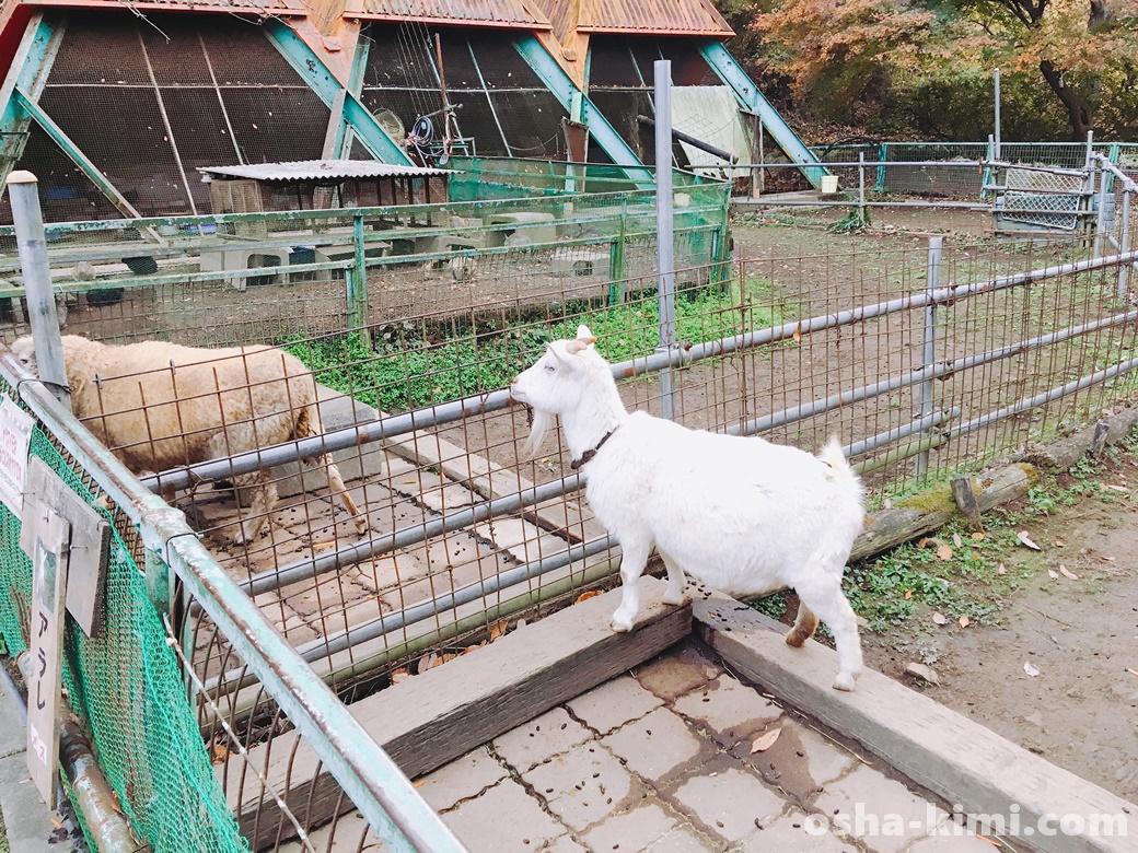 宝登山小動物公園のやぎ
