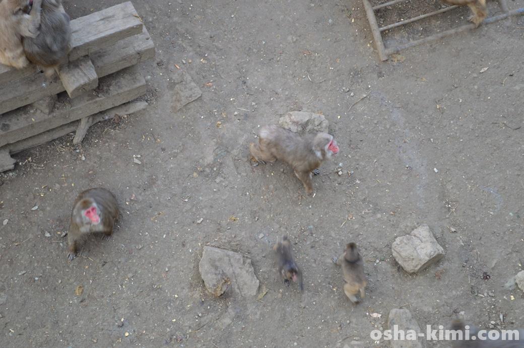 宝登山小動物公園のサルに餌をやる